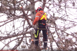 Tree trimming - tree removal